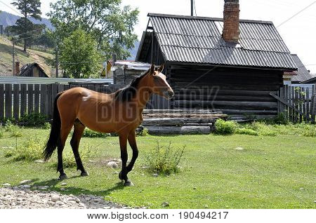 Brown horse is walking in village near wooden house
