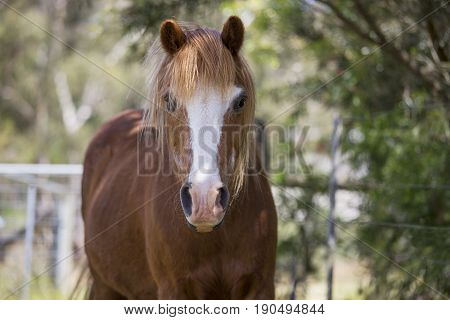 Front profile of a chestnut welsh pony on a farm.
