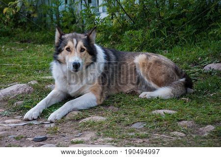 colorful dog lying on the grass looking sad