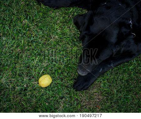 Black Labrador plays with a lime like a ball