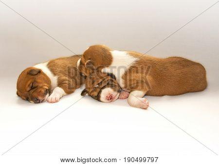 puppys sleeping on the light bed. Animals.