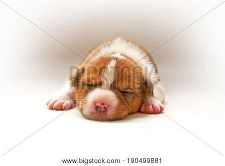 puppy sleeping on the light bed. Animals.
