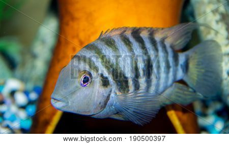 Close up of female Convict cichlid Amatitlania nigrofasciata