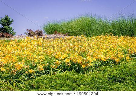Large mounded garden with lots of day lilies Hemerocallis lilioasphodelus