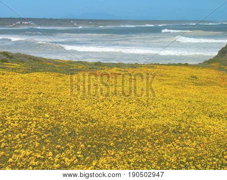 FROM GROTTO BAY, CAPE TOWN, SOUTH AFRICA, A MASS OF YELLOW FLOWERS LEADING ALL THE WAY TO THE SEA