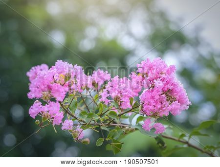 Lagerstroemia indica flowers bloom in the garden with romantic pink for those who love flowers and pink, this flower usually blooms in summer in the tropics.