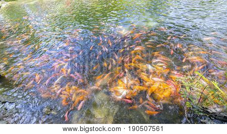 Colorful carp swimming in the pond with several hundreds of paintings emerged to win food, generally have a beautiful