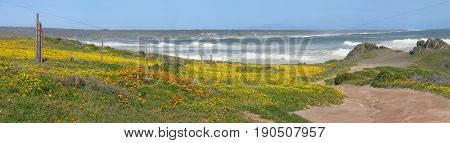 FROM GROTTO BAY, CAPE TOWN, SOUTH AFRICA, A MASS OF YELLOW and orange FLOWERS LEADING DOWN TO THE SEA