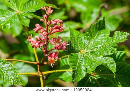 a flower of red chestnut with fresh bright green leaves on a branch, flowers and buds, the beginning of flowering, the plant is lit by the sun, spring day,