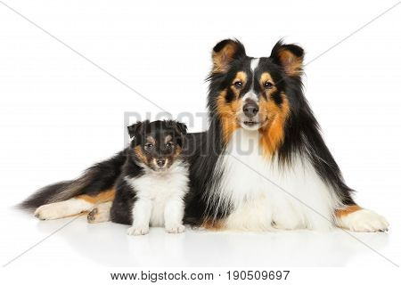 Shetland Sheepdog Father And Son