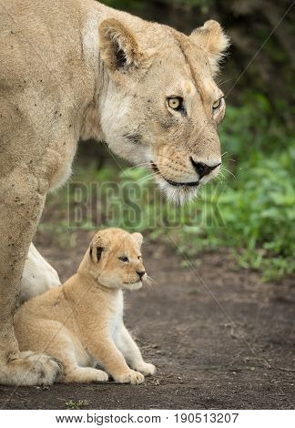 Adult Lioness protecting her 5 week old cub Serengeti National Park Tanzania