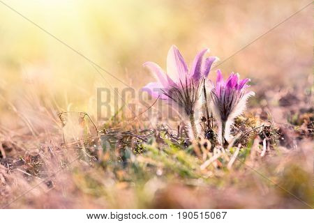 Crocus Spring Flowers in vintage style, nature concept