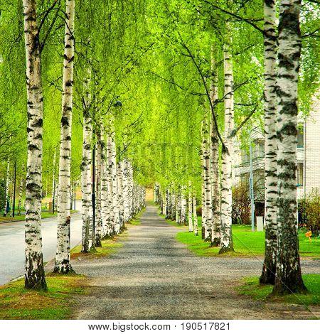 Birch row around the way in city park