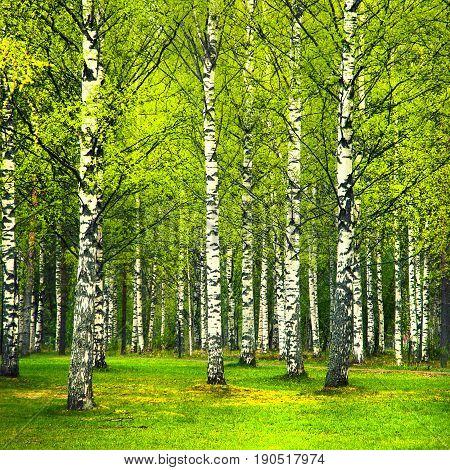 First spring greens in birch park forest