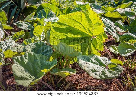 Large translucent leaves of the butterbur or Petasites hybridus plant on a sunny day in springtime. According to the herbal medicine the leaves have medicinal properties
