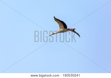 Single Wild Stork Flying In Blue Sly