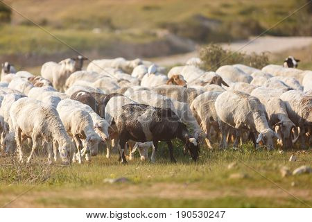 A Herd Of Sheep Walking In Dust Along The Grass