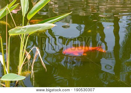 The Red carp fish in a pond