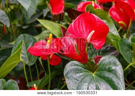 Several red anthuriums with a green leaves