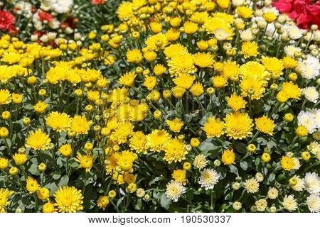 Bright background from a yellow decorative chrysanthemum