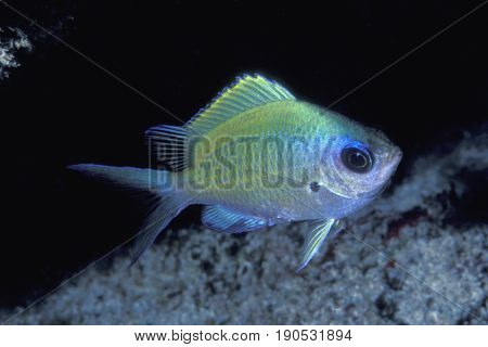 The Oval Chromis, (Chromis ovalis) a damselfish that is endemic to the islands of Hawaii