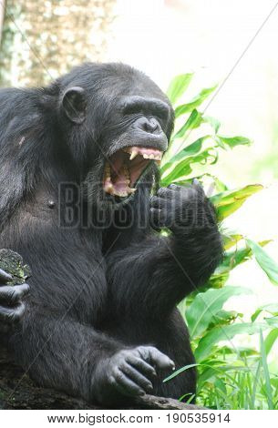 Chimp showing off a mouth full of lots of teeth.