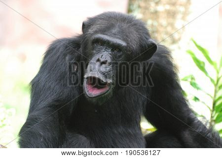 Cute chimpanzee howling and puckering making noises.