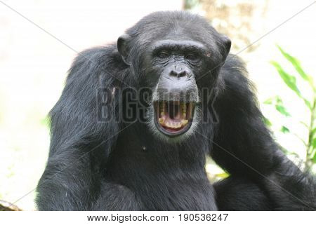Really great chimpanzees with his mouth wide open with teeth.