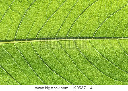 Green leaf macro closeup close-up detailed photo with veins midrib and lamina in smallest details foliage glowing in sunlight. Concept for nature live ecology vital environmental care.