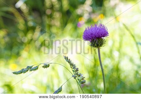 Closeup of a violet flower welted thistle or carduus crispus plant in its own natural habitat.