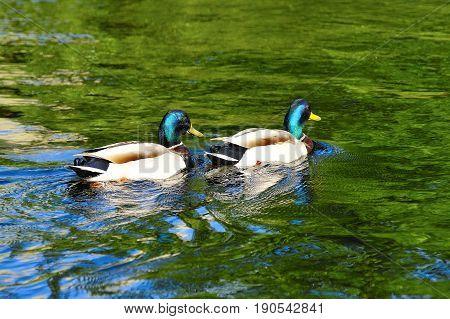 Couple of Dragon Mallard Ducks Swimming in the River in Spring