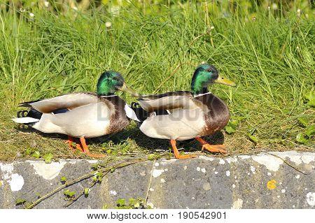 Couple of mallard duck walking in the river side in spring