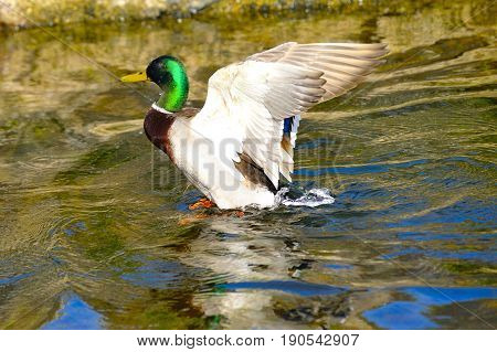 A mallard duck flaping in the river