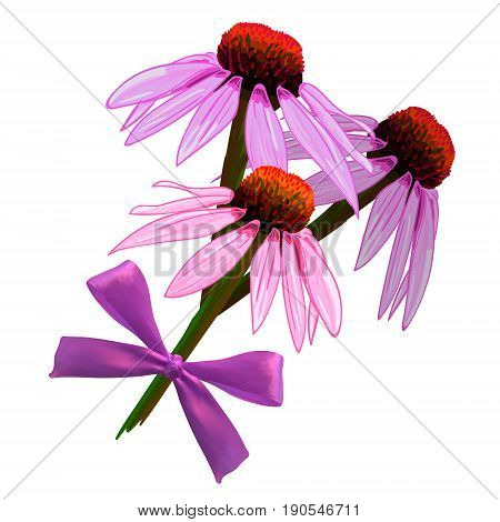 Echinacea purpurea VECTOR sketch. Hand drawn illustration. Pink flowers and realistic bow isolated on white background.