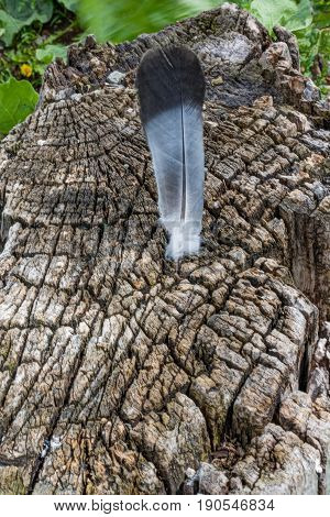Bird's Feather Lies On The Background Of A Cut Of An Old Stump