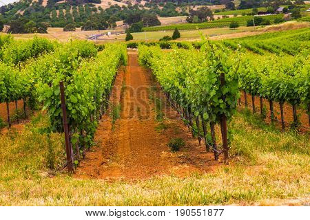 Rows Of Grape Vines & Stakes Overlooking Valley
