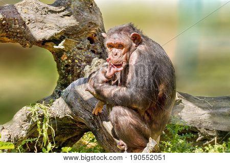 Female Chimpanzee Holding A Calf
