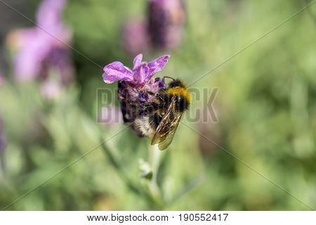Furry Bumblebee Collecting Nectar From A Lilac Purple Flower