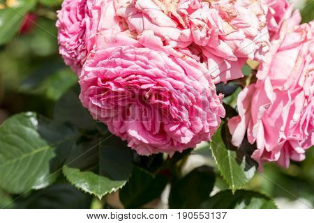 Pink  Augusta Luise Rose In Close Up Macro Image With Green Leaves Blurry Background