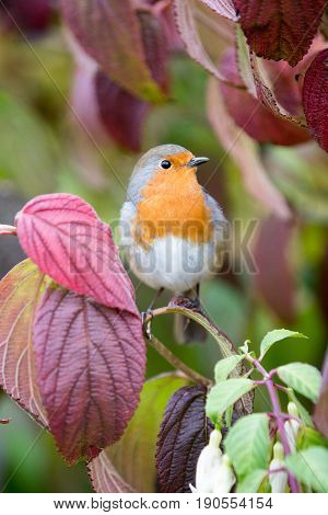 Robin Sits On Viburnum Tree With Autmn Colours