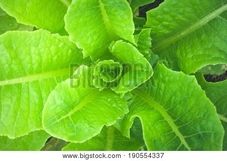 Close up top view of Cos Lettuce vegetable in garden. (Autumn filter effect)