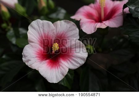 Pink And Red Hibiscus In Close Up Macro Image With Green Leaves Blurry Background