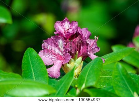 the rhododendron grows in the botanical garden, in full bloom several lilac, purple, dark flowers with a light core surrounded by green foliage, bright, sunny spring day, white,