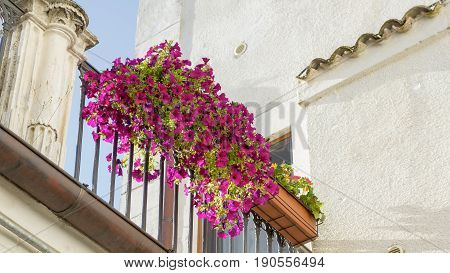 The petunia flowers on the railing of a house with white walls. Bottom view to a corner of the white house with antique decorations in medieval Italian style