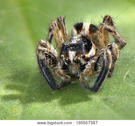 Spider animal arthropod close-up portrait on a green leaf