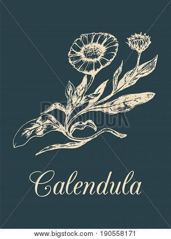 Vector calendula illustration with flowers. Hand drawn botanical sketch of marigold. Medicinal, officinalis plant drawing in engraving style isolated.
