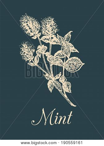 Vector mint illustration. Hand drawn aromatic plant sketch. Culinary herb image. Botanical drawing in engraving style for cards, tags etc.