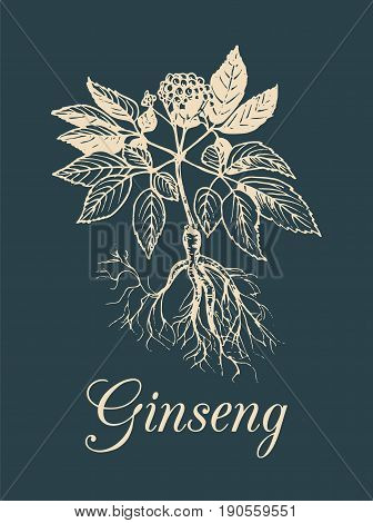 Vector ginseng illustration on dark background. Hand drawn sketch of medicinal plant. Botanical drawing in engraving style. Organic, eco herb.