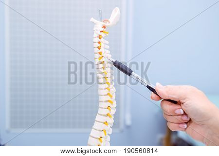 Closeup medical doctor woman pointing on Cervical spine model. Healthcare concept. Selective focus.