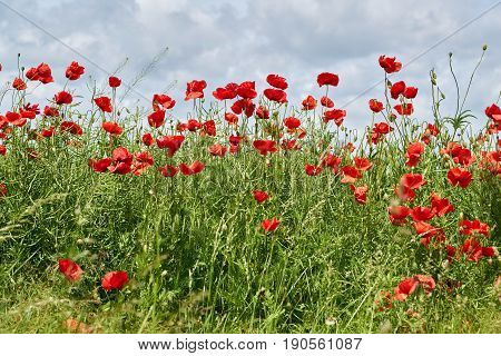 Poppies on a field in summer in Germany
